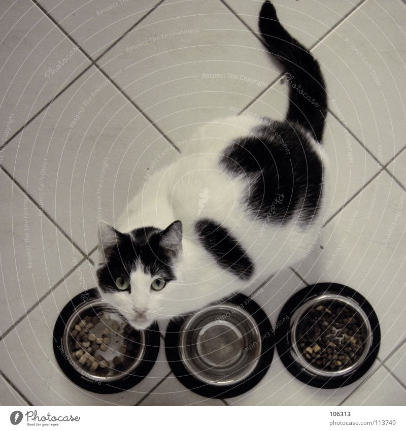 Cat White Animal Metal Nutrition Kitchen Tile Delicious Pet Row Evil To feed Domestic cat Patch Meat Captured