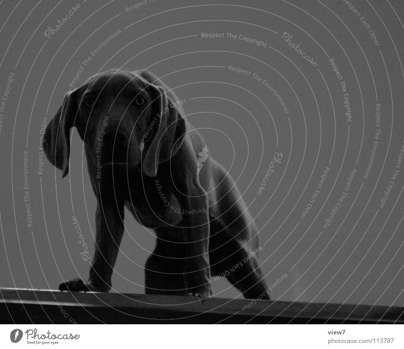 Dark Gray Dog Small Brown Stairs Perspective Posture Cute Curiosity Pelt Watchfulness Odor Testing & Control Pet Mammal