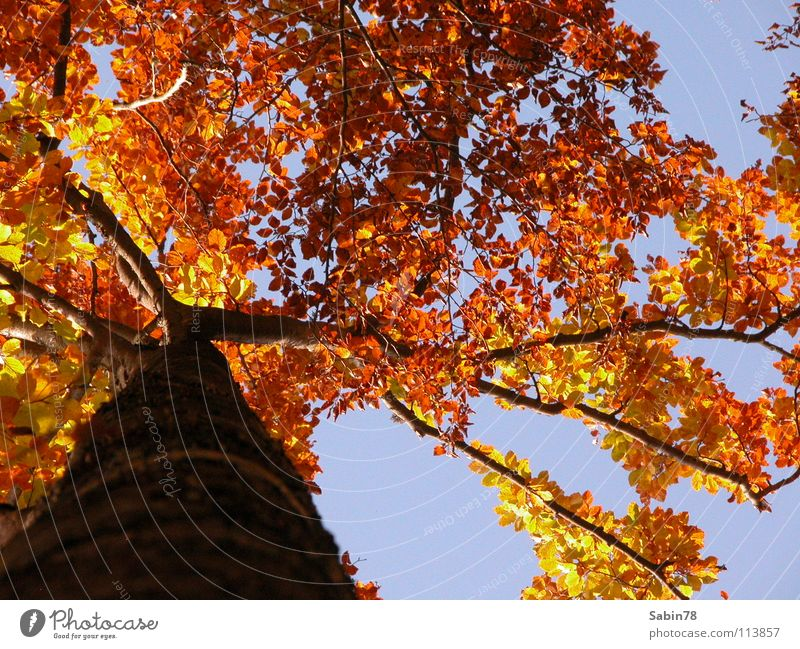 Tree Red Leaf Yellow Autumn Seasons Tree trunk