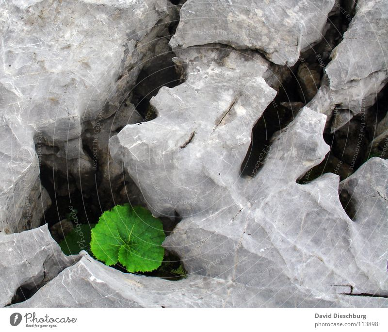 The enclosed leaf Green Leaf Sharp-edged Cavernous Living thing Oxygen Carbon dioxide Plant Large Difference Gray Mountain Stone Rock Crack & Rip & Tear