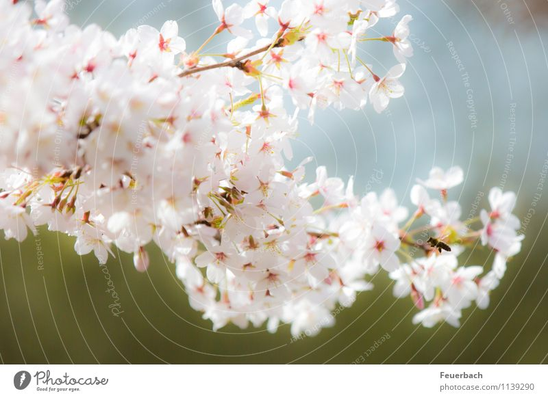approach Nature Plant Animal Air Spring Beautiful weather Tree Blossom Cherry tree Garden Park Bee 1 Flying To enjoy Friendliness Bright Natural Pink White