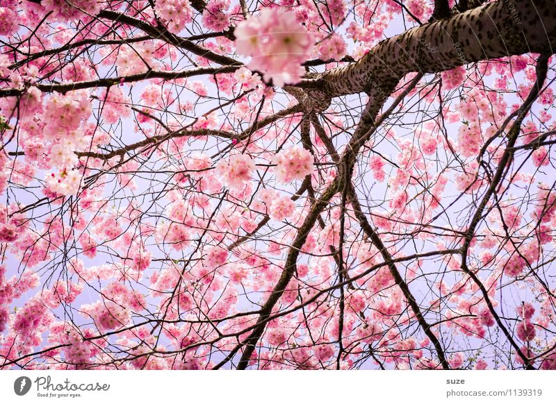HURRA! No, not at all. Beautiful Environment Nature Sky Spring Beautiful weather Tree Bushes Blossom Blossoming Growth Esthetic Friendliness Pink Emotions Moody