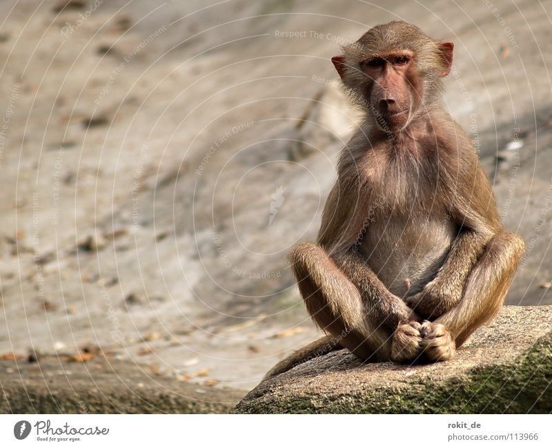 Monkey yoga hands in lap Hand Monkeys Baboon Satisfaction Loneliness Snout Pelt Fingers Animal Mammal Playing Romp Zoo Enclosure Superior Places Meditation