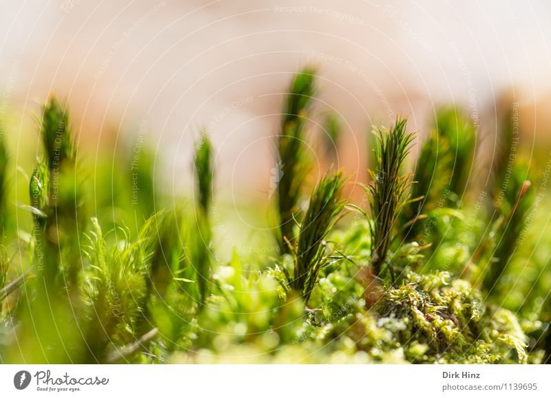 Forest soil I Environment Nature Green Exotic Foliage plant Carpet Carpet of moss Moss Close-up Soft Near Fresh Small Diminutive Stand Earth Feral Delicate