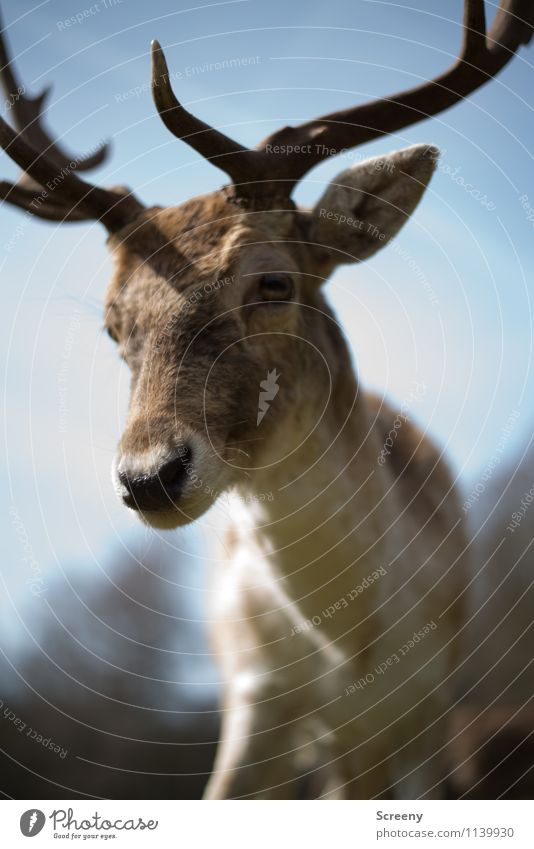 all right? Nature Animal Sky Sun Spring Beautiful weather Forest Wild animal Zoo Deer 1 Looking Curiosity Interest Antlers Pelt Colour photo Exterior shot