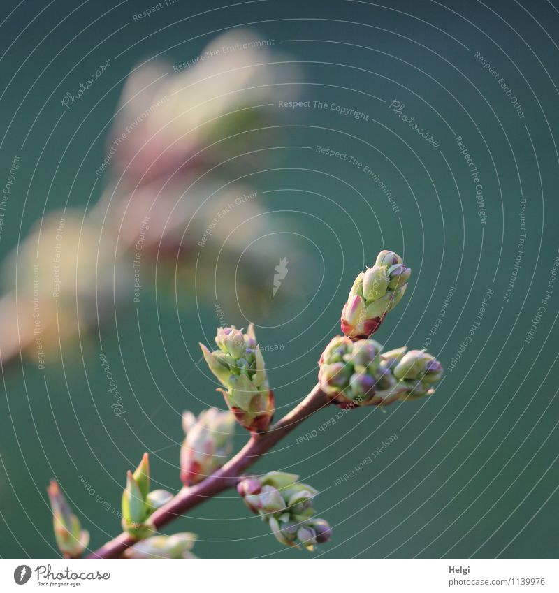 budding Nature Plant Spring Beautiful weather Bushes Agricultural crop Bud Twig Blueberry Garden Growth Esthetic Authentic Fresh Uniqueness Small Natural Brown