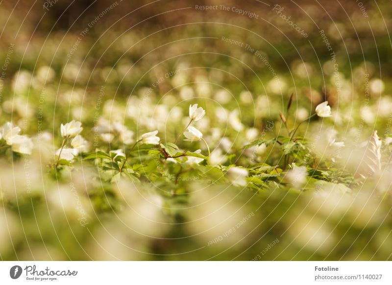 Nature Plant Green White Flower Landscape Forest Environment Spring Blossom Natural Small Bright Near Spring flowering plant Wood anemone