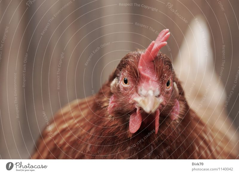 White Red Animal Black Natural Wood Brown Food Bird Pink Feather Nutrition Observe Curiosity Agriculture Fence