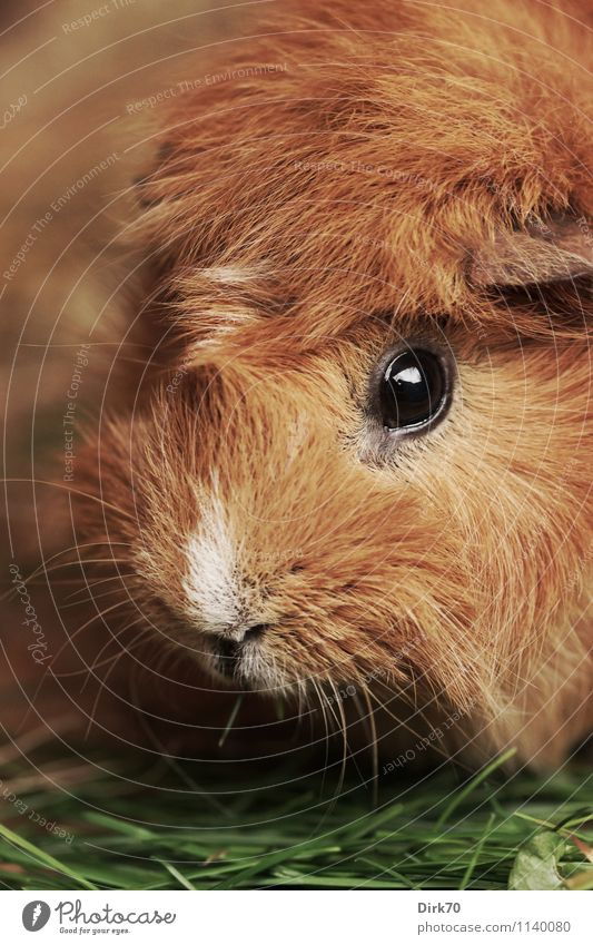 Guinea pig, very close! Living or residing Garden Grass Blade of grass Animal Pet Animal face Snout Eyes Pelt Rodent 1 To feed Looking Friendliness Beautiful