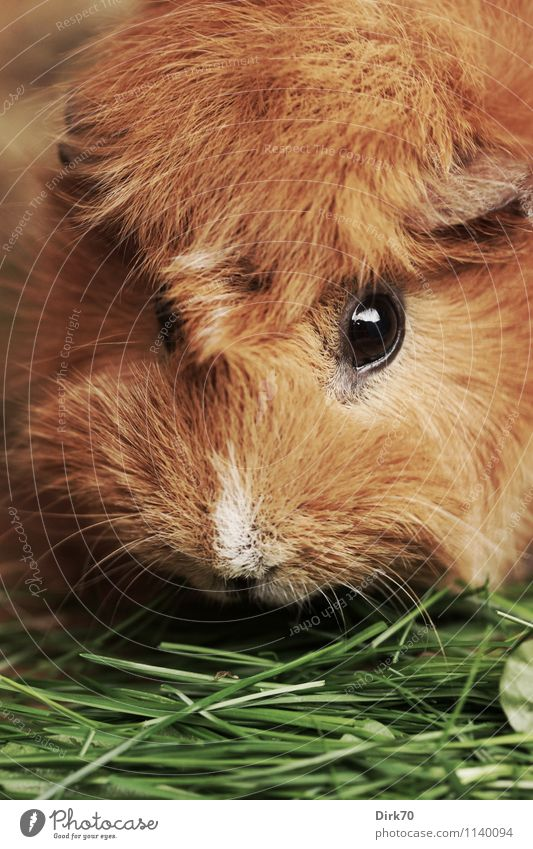 tousle-head Nature Animal Grass Blade of grass Garden Pet Animal face Pelt Rodent Guinea pig Eyes 1 To feed Feeding Looking Friendliness Glittering Beautiful