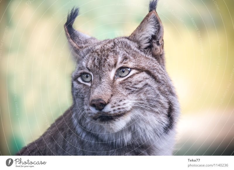 The Lynx II Style Environment Nature Forest Animal Wild animal 1 Adventure Colour photo Exterior shot Deserted Shallow depth of field Animal portrait