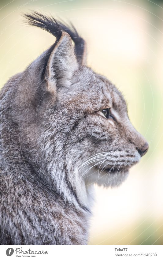 The Lynx I Style Environment Nature Forest Animal Wild animal 1 Adventure Colour photo Exterior shot Deserted Shallow depth of field Animal portrait