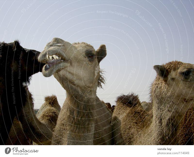 Where's the dentist? Camel Arabia Animal Camel hump Dentist Sky Meat Mammal Kuwaiti Brand of cigarettes desert Blue Multiple Set of teeth orthodontist krum