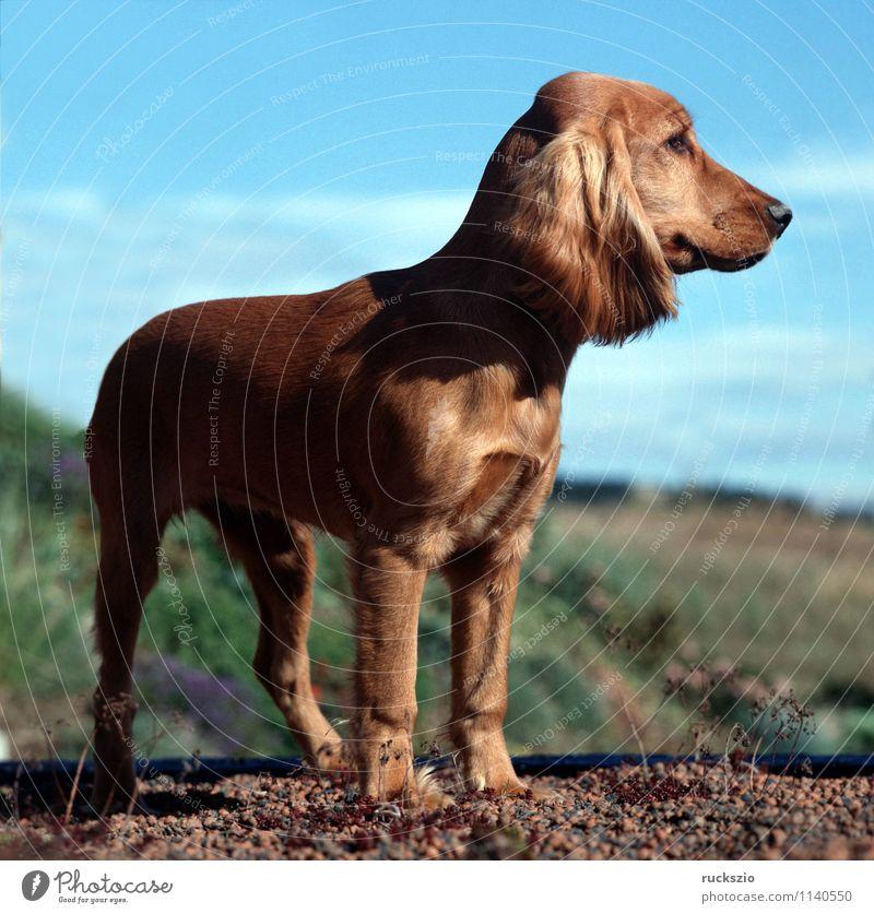 Dog Red Animal Hound Watchdog Purebred dog Cocker Spaniel