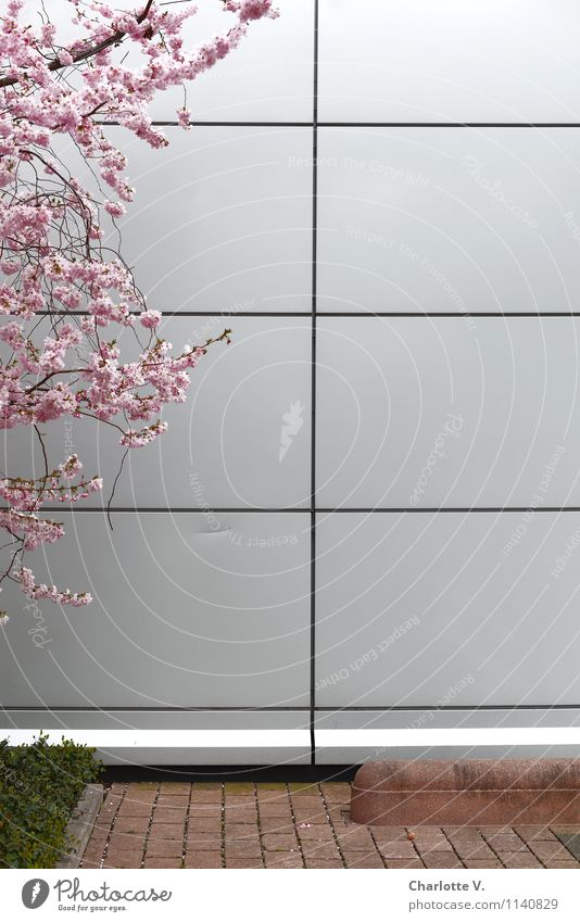 Nature City Plant White Tree Wall (building) Spring Wall (barrier) Wood Gray Garden Bright Metal Pink Facade Growth