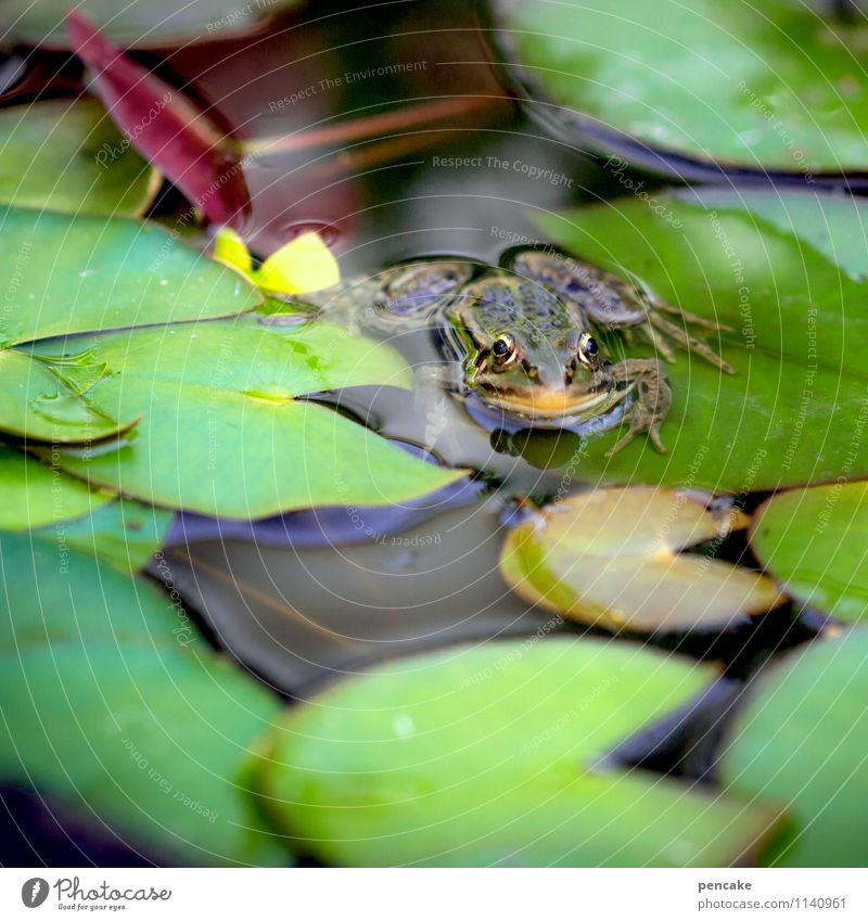 Weather | frog Nature Summer Plant Pond Animal Frog 1 Sign Famousness Cold Wet Natural Green Water lily leaf Water lily pond Meteorologist Colour photo
