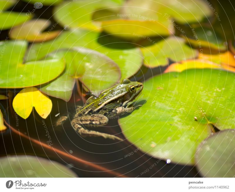 sun deck Nature Plant Elements Water Summer Pond Frog 1 Animal Sign Leisure and hobbies Joy Idyll Naked Beautiful Water lily leaf Water lily pond Green Spring