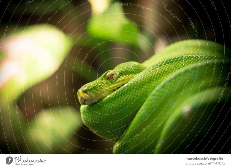 Green Animal Cold Exceptional Brown Glittering Lie Wild animal Threat Pet Exotic Hang Aggression Crouch Snake Reptiles