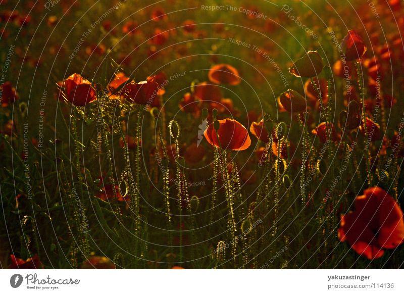 Bloody Luxury Red Green Poppy Plant Animal Flower Summer Spring Corn poppy opium morphine