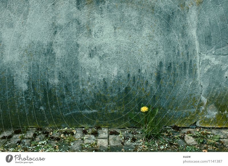 You're a little sunny, aren't you? Dandelion Wall (building) Lonely Plant Environment Blossom