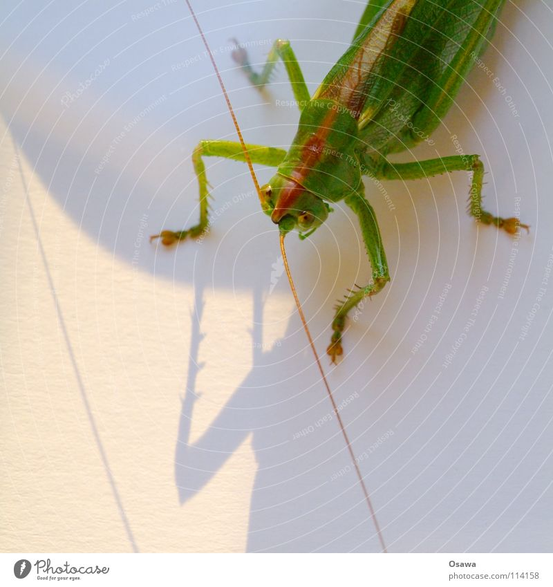 Green Animal Legs Insect Feeler Salto Locust