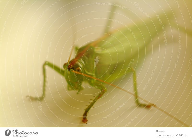 Green Animal Legs Insect Depth of field Feeler Image editing Salto Locust Soft focus lens