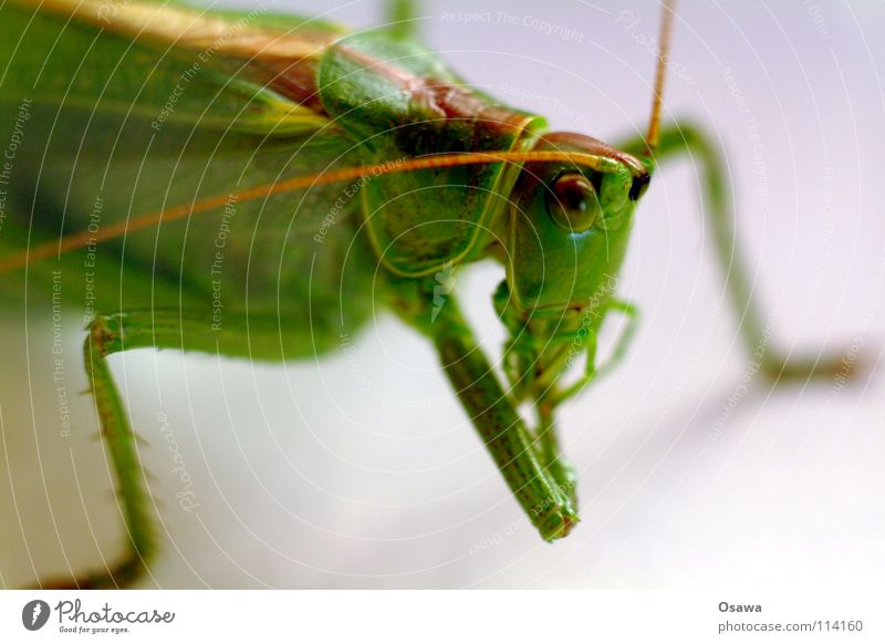 Green Animal Eyes Legs Insect Feeler Salto Locust