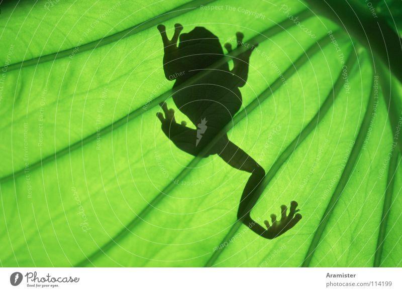 Frog in back light Tree frog Back-light Leaf coral finger Silhouette Leaf green tropical houseplant