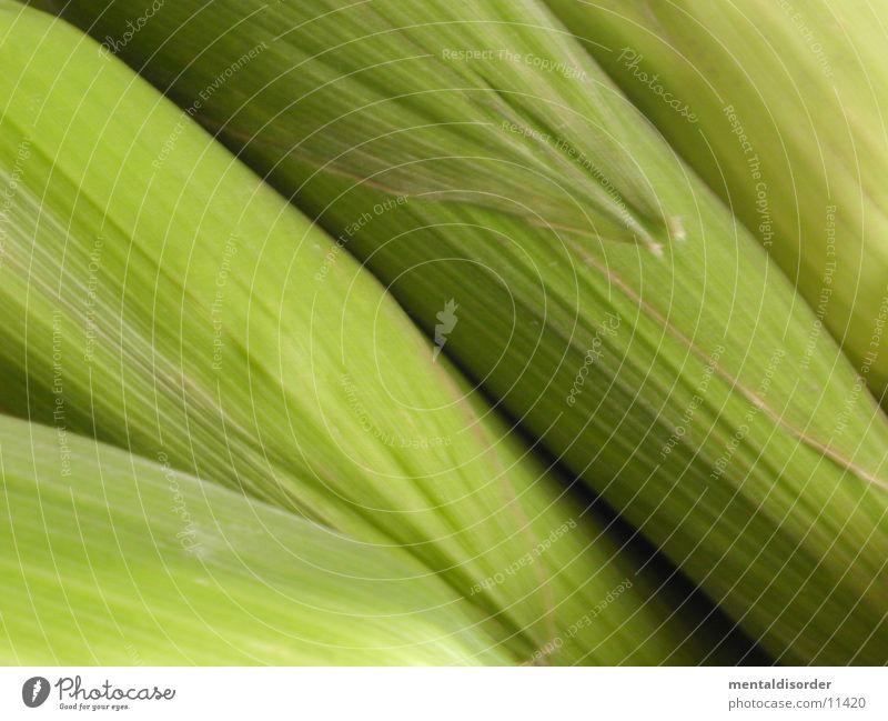 maize Corn cob Green