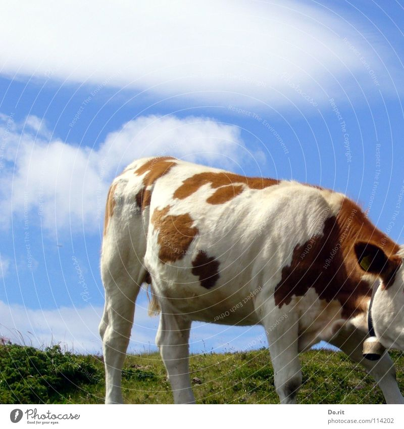headless Cow Dolomites Brown White Green Grass Bell Cow bell Clouds Blue sky Pelt Soft Bright red Beef Pasture Alpine pasture Headless Fear Panic Mammal Patch