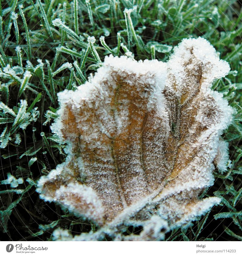 White Green Winter Leaf Cold Snow Autumn Grass Ice Brown Glittering Frost Lawn Lie Stalk Frozen