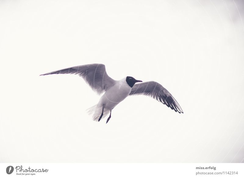 Schwarzkopf. Air Flying Authentic Flexible Fear Seagull Weightlessness Easy Hover Glide Bird Free Sky Freedom Relief Relaxation Happy Joy Dove of peace Peace