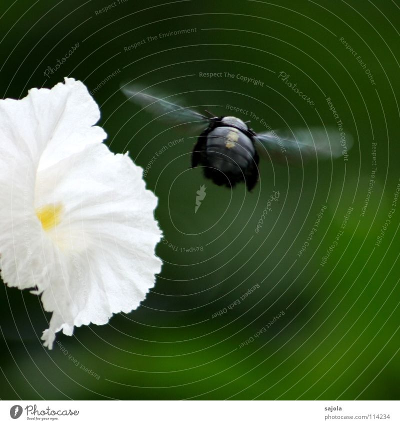 departure brummer Garden Nature Plant Animal Flower Blossom Bee Beetle Wing 1 Movement Flying Speed Green Black White Insect Departure Hover Foraging Stamen