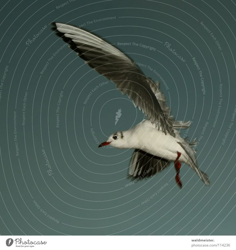 Common Gull Seagull Black-headed gull  Bird Feather Beak Ocean Beach Evening Dark Sky Aviation Flying Wing