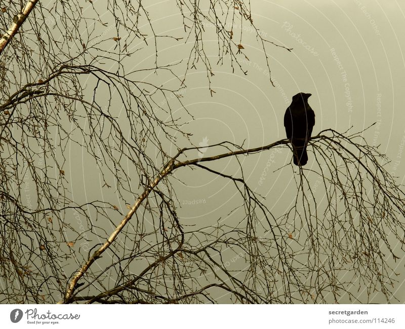 krâwa (Old High German), landscape format Crow Raven birds Bird Tree Leaf Leafless Winter Autumn Crouch Crouching Room Bad weather Clouds Calm Relaxation Grief