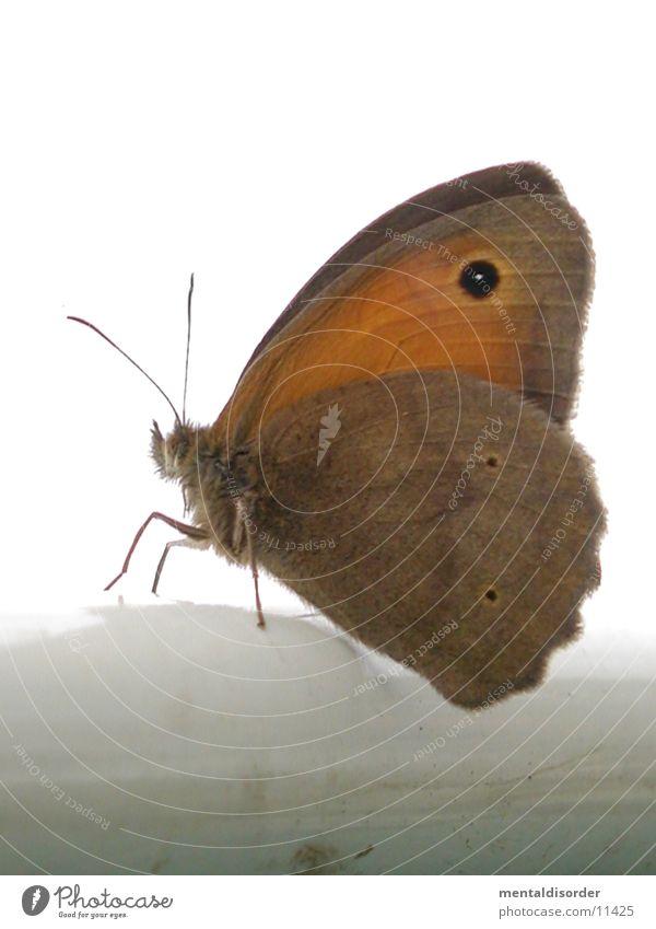 butterfly Feeler White Transport Wing Legs