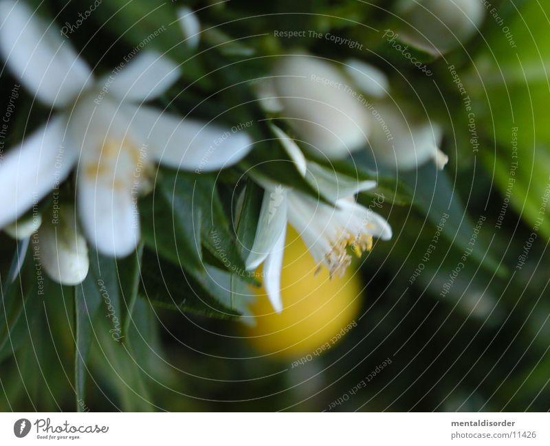 White Green Yellow Blossom Orange