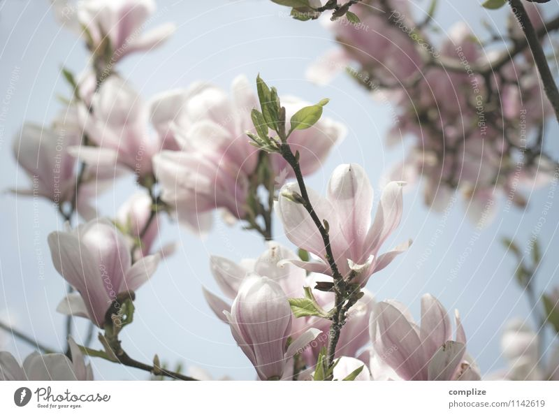 magnolia Beautiful Healthy Wellness Life Harmonious Well-being Contentment Senses Relaxation Calm Meditation Fragrance Spa Plant Tree Flower Blossom Exotic