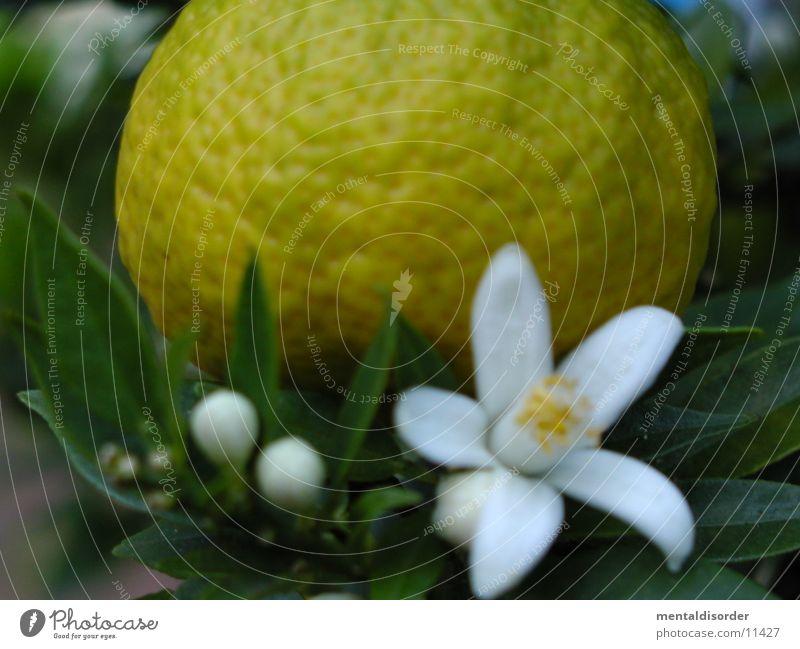 Orange & Blossom White Green Yellow Leaf Branch