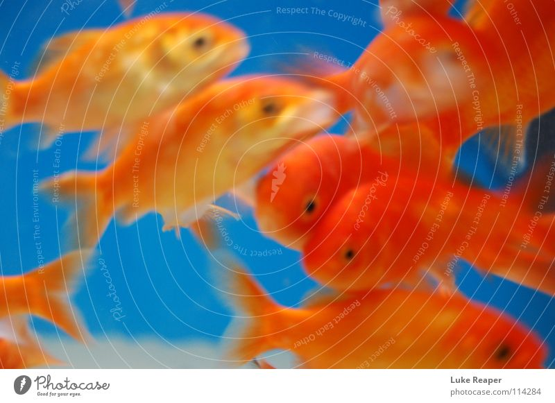 orange fish Goldfish Aquarium Fishing (Angle) Gill Freshwater Water