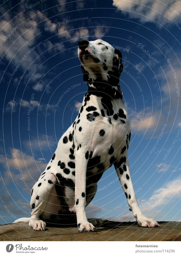 Sky Tree Dog Fear Mammal Pride Animal Dalmatian