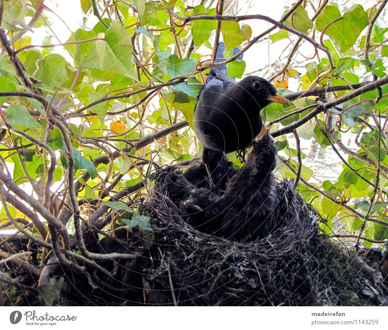 Blackbird-cock-on-blackbird-chicks-hungry-bird-nest-IMG_2096 Animal Wild animal Bird blackbird baby bird feeding Eating Flying Feeding Authentic Exceptional