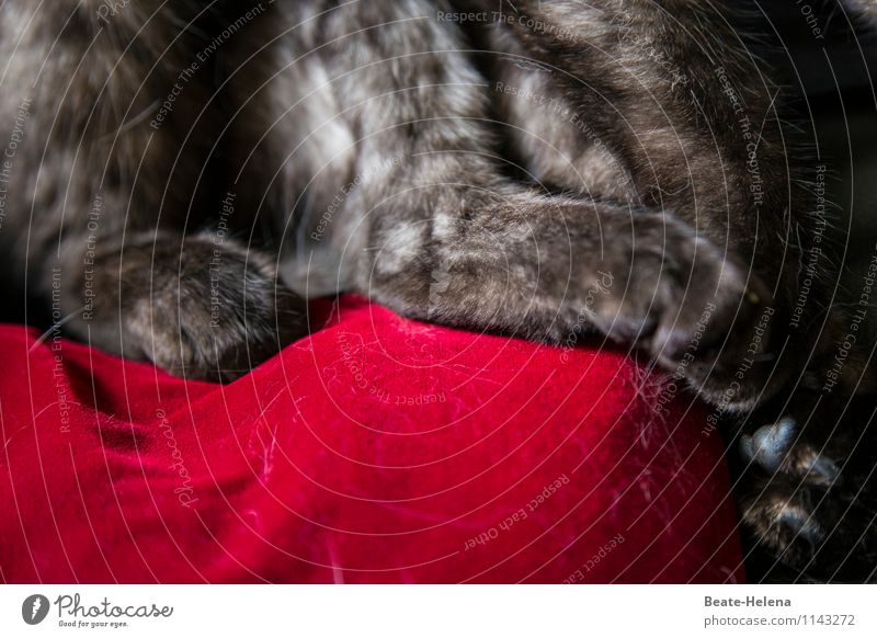 Pretty hairy affair. Lifestyle Elegant Style Animal Gray-haired Cat Paw To hold on Looking Sit Wait Uniqueness Soft Red Power Safety Safety (feeling of)