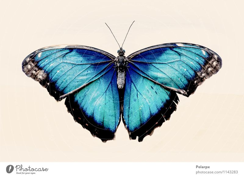 Blue Morpho butterfly Nature Beautiful Colour White Animal Black Wild Decoration Open Sit Beauty Photography Insect Turquoise Butterfly Exotic