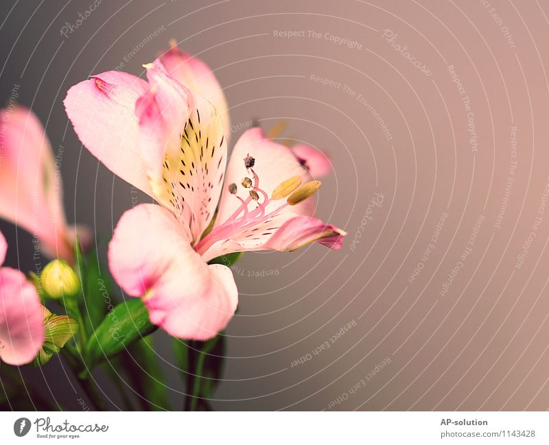 lily Plant Spring Flower Esthetic Fragrance Exotic Kitsch Beautiful Feminine Gray Pink White Love Romance Lily Lily plants Lily blossom Colour photo