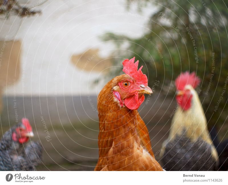 cack Animal Pet Farm animal Barn fowl Brown Gray Green Red Wall (building) Agriculture Egg Rooster Crest Beak 3 Feather Poultry Cluck Colour photo Exterior shot