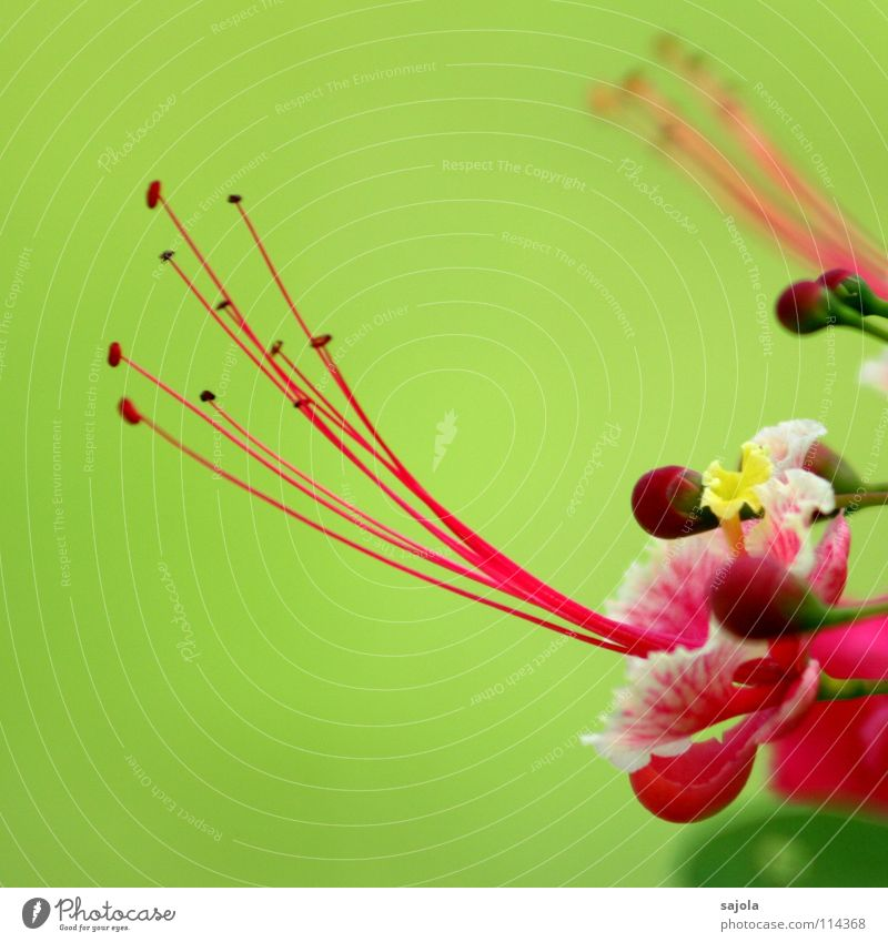 Nature Flower Green Plant Colour Blossom Spring Pink Soft Asia Delicate Blossoming Exotic Bud Pistil Bright green