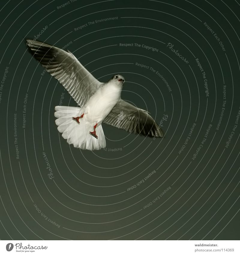 Sky Ocean Beach Dark Feet Bird Flying Aviation Feather Wing Seagull Beak Animal Black-headed gull