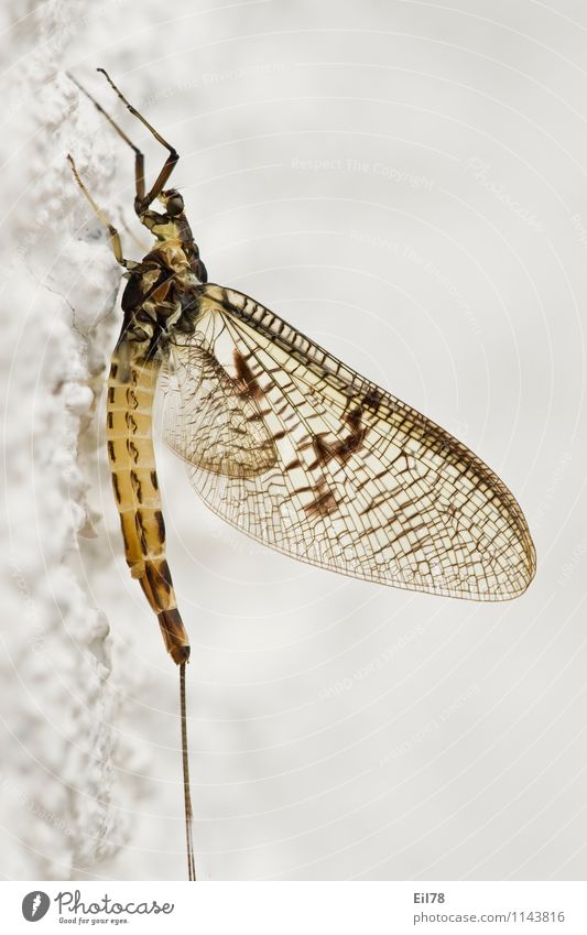 mayfly Fly Wing 1 Animal Near Ephemera ephemera danica Big one-day fly Sideways Hymenoptera Colour photo Close-up Detail Macro (Extreme close-up)