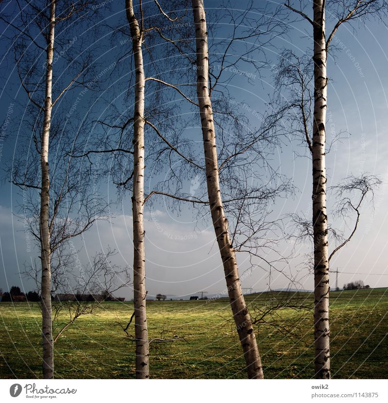clearing Environment Nature Landscape Plant Sky Clouds Horizon Climate Weather Beautiful weather Tree Tree trunk Birch tree Twig Wood Meadow Thin Firm Together